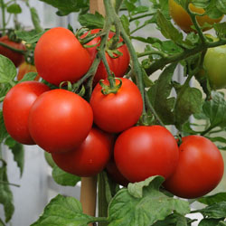 getting your plants started from seeds yields an abundant tomato harvest
